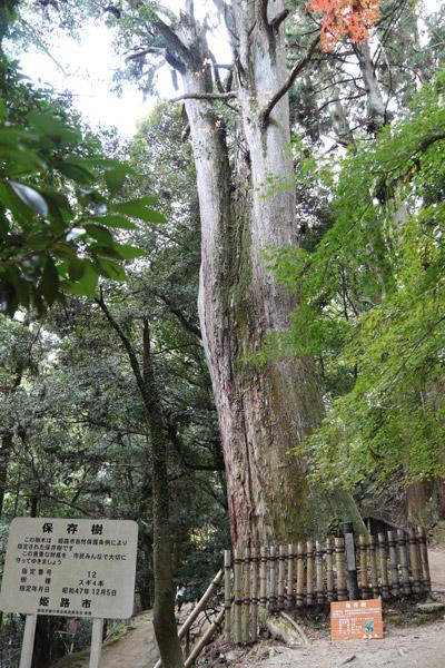 立派なスギの木