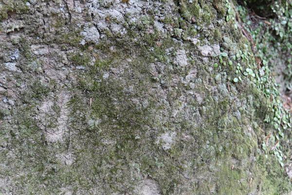 スミレモらしき藻